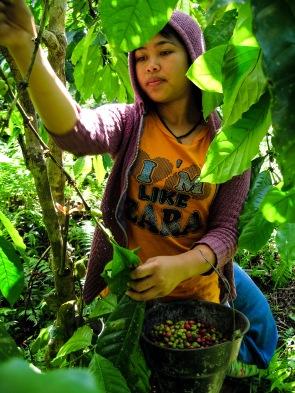 Coffee harvest next to Tambora Guesthouse