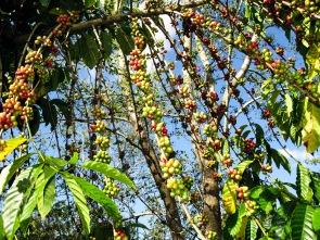 Coffee plantation next to Tambora Guesthouse